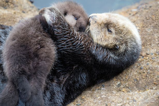 Snuggle Party: Our Weird Fascination with OTTERS
